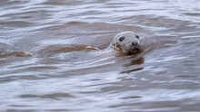 Young Grey Seal Bull Swimming In The Ocean With His Head Above Water