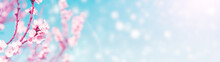 Web Banner Blossoming Apricot ...
