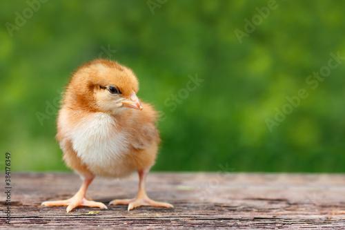 Fototapeta Cute little chicken on a wooden background
