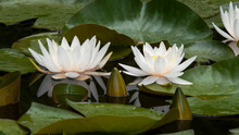 Two White Water Lilies With Buds And Large Round Leaves Are Floating In The Pond.