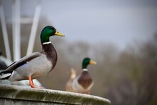 Male Mallards Standing On A Fountain In The City