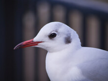 A Seagull Close Up
