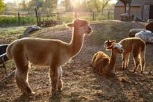 Llamas On A Farm In Washington...