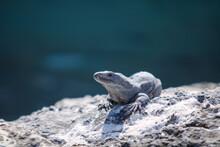 Island Land Iguana On A Rock