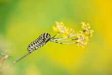 Black Swallowtail Butterfly (P...