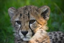 Close Up Portrait Of Cheetah Cub