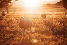 Schafe Im Sonnenuntergang