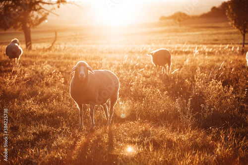 Cuadros en Lienzo Schafe im Sonnenuntergang