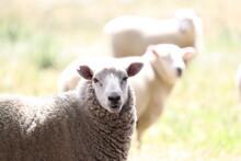 Schaf Schaut In Kamera