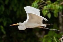 Great Egret Heron Bird Fligh
