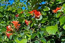 Red Bauhinia Flowers (Bauhinia Galpinii), Minas Gerais, Brazil