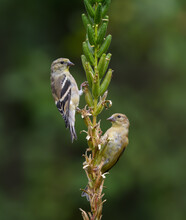 Two American Goldfinches On Green Background In Fall
