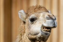 Dromedary Or Somali Or Arabian Camel (Camelus Dromedarius)