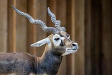 Blackbuck Or Indian Antelope (Antilope Cervicapra)