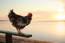 Big Domestic Rooster On Bench ...