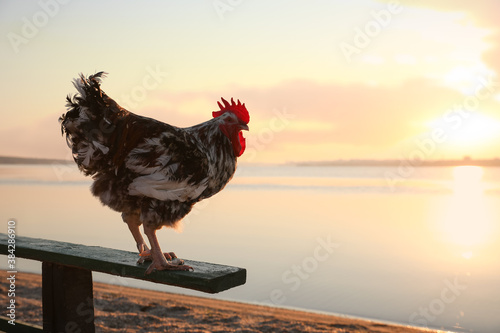 Photo Big domestic rooster on bench near river at sunrise, space for text