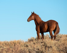 Wild Horse From The Pilot Butte Herd In Wyoming