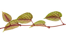 Rex Begonia Vine Leaves, Exotic Colorful Leaf Isolated On White Background With Clipping Path