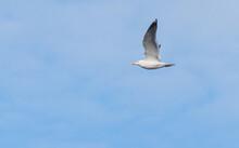 Bird Seagull Flying In The Sky