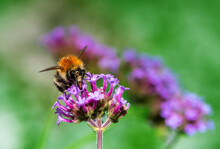 Common Carder Bee On A Purple Verbena Flower Blossom