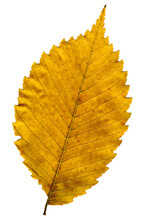 Jagged Edge Of Textured Yellow Leaf. Macro. Close-up.