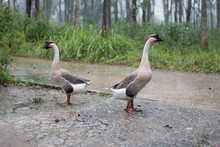 Two Geese Standing In The Rain.