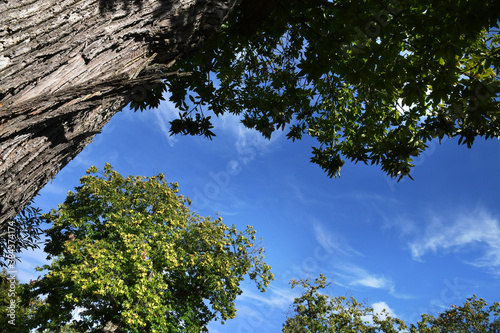 Chestnut forest on the Tuscany mountains against the blue sky. Autumn season. Shot from below, Italy.