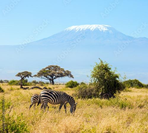 Naklejka premium Trip to Kenya. Pair of zebras