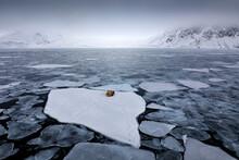 Walrus, Lying On The Ice, Stic...