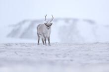Winter In Svalbard. Wild Reind...