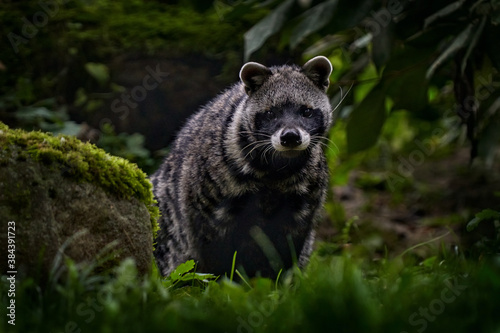 Civet, Civettictis Civetta, in the desert, Okavango delta, Botswana, Africa. Beautiful animal, hunting in the night. African civet, wildlife scene from nature. Civet in nature green habitat.