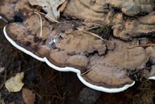 Ganoderma Applanatum, Artist's Bracket,  Bear Bread Fungus On Tree Stump