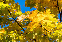 Yellow Maple Leaves On A Backg...