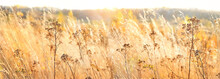 Autumn Nature Background With Dry Grass. Golden Autumn Field. Wild Fluffy Grass In Sunlight. Beautiful Tranquil Landscape Scene. Banner