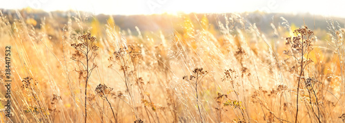 Fototapeta autumn nature background with dry grass. Golden autumn field. wild fluffy grass in sunlight. Beautiful tranquil landscape scene. banner obraz