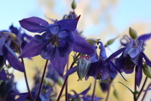 Purple Bee-friendly Columbine Flowers In The Natural Garden