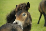 Exmoor pony foal itching