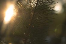 Sun Shining Through Spruce Tree