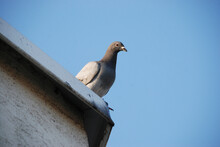 Grey Pigeon Looking Curiously...