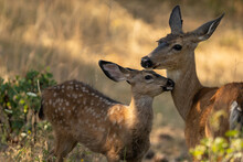 White-tailed Deer Cute Baby Fa...