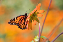 Bright And Beautiful Monarch Butterfly Sipping Nectar From A Beautifully Backlit Orange Flower.