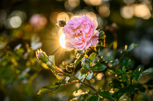 A Pink Rose Backlit By The Sun. Sun Peeks Out From Behind The Rose.