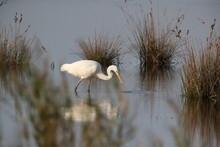 Great Egret (Ardea Alba) Germany