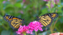 Two Monarch Butterflies Face To Face Sitting On Pink Lantana Flowers. Landscape Format.