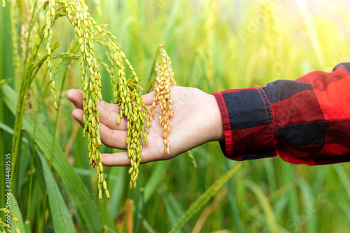 Fototapeta farmer hand tenderly touching a young rice in the paddy field obraz