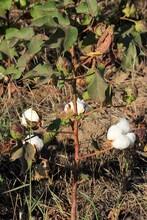 Cotton Field In Kansas Shot Closeup With White Cotton On The Plant West Of Nickerson Kansas USA.