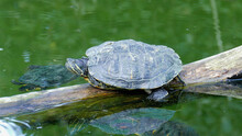 Red-Eared Slider Turtle In The...