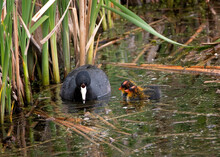 Adult American Coot Duck With Two Newborn Ducklings.