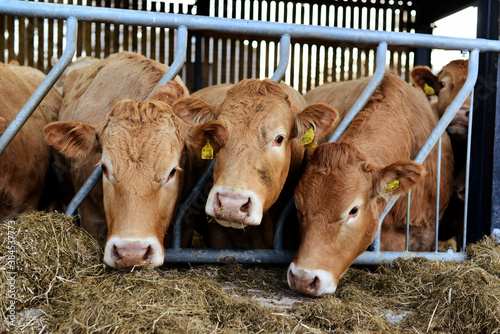 Obraz Cows in a farm near Staithes, Yorkshire, North Yorkshire, England, UK - fototapety do salonu