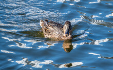 Close Up Of A Duck Swimming On...